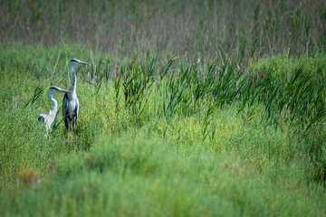 Fototapete - Pair of European Grey Herons