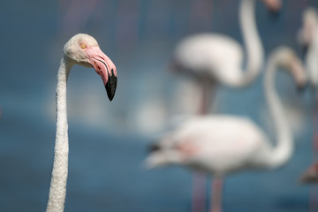 Fototapete - Wild Pink Flamingo close up