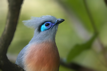 Portrait of very attractive bird, Crested coua, Coua cristata, endemic to Madagascar. Gray and blue colored with white-tipped purplish-blue tail.