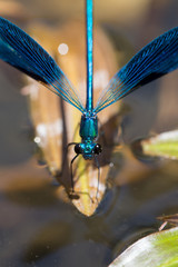Dark blue damselfly on a leaf