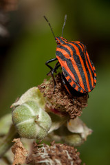 Shield bug (Hemiptera) on a flower