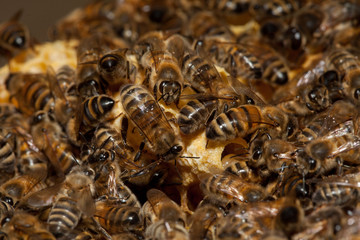 Honey bees taking care of larves inside large queen or male cells