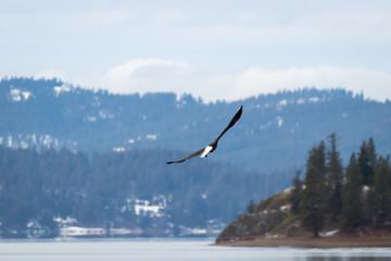 bald eagle in flight over coeur d'alene lake