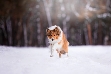 Sheltie breed in the winter forest
