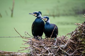 Great Black Cormorant (Phalacrocorax carbo)