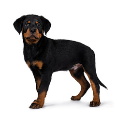 Cute Rottweiler dog puppy standing side ways and straight at camera with dark sweet eyes. Isolated on white background. Tail hanging down.
