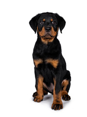 Cute Rottweiler dog puppy sitting facing front and looking straight at lens with dark sweet eyes. Isolated on white background.