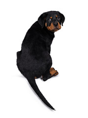 Cute Rottweiler dog puppy sitting backwards and looking over shoulder straight at lens with dark sweet eyes. Isolated on white background. Tail hanging down from edge.