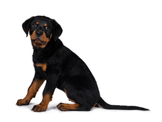 Cute Rottweiler dog puppy sitting side ways and looking straight at lens with dark sweet eyes. Isolated on white background. Tail behind body.