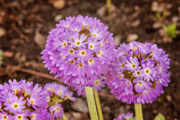 Primrose Primula with violet flowers. Inspirational natural floral spring or summer blooming garden or park with blurred bokeh background. Colorful blooming ecology nature landscape