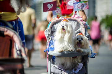 A pair of fluffy white dogs celebrating Carnival wearing superhero crowns arriving at the annual Blocao pet carnival in Rio de Janeiro, Brazil