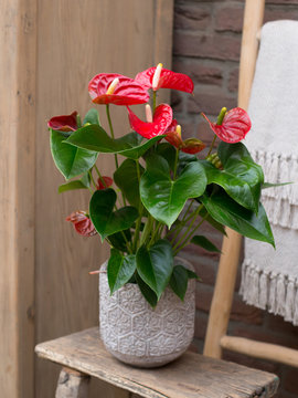 red flower plant in a pot isolated on white background