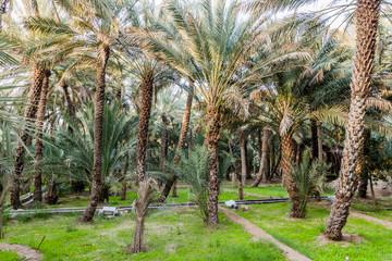 Palms in Al Ain oasis, United Arab Emirates