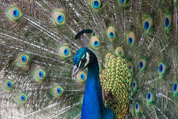 Peacock with open colorful tail. Beautiful peacock displaying his plumage. Peacock with feathers out.