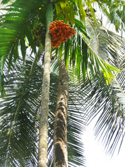 Peach palm with nuts