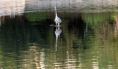 Heron waterbird at lake