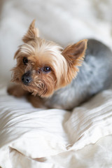 Close up view of cute little yorkshire terrier lying on bed.  Little dog looks clever and sad eyes. Peoples best friend. Yorkshire Terrier.