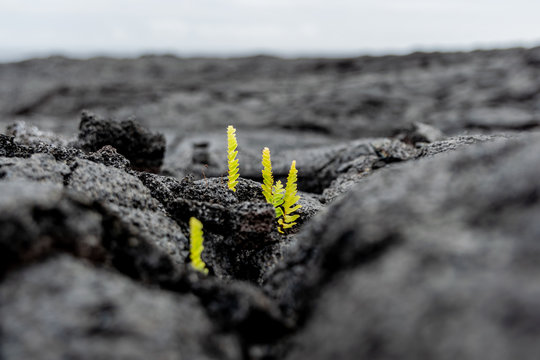 Stunning close-up view of fresh plant shoots growing out of a recent Kilauea lava eruption field near the town of Kalapana on the Big Island of Hawaii, USA. The eruption destroyed several houses.