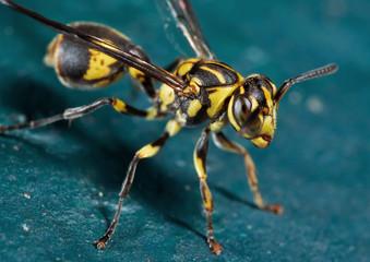 Macro Photo of Wasp on Turquoise Floor