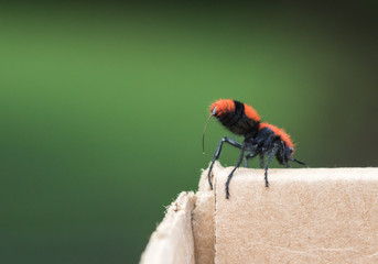 Cow Killer/Wingless Wasp Threatening With Extended Stinger
