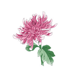 Colorful illustration of chrysanthemum flower, isolated.