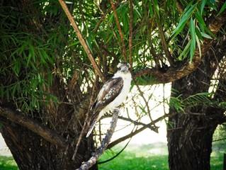 Wild Kookaburra Sitting On Tree, Australia