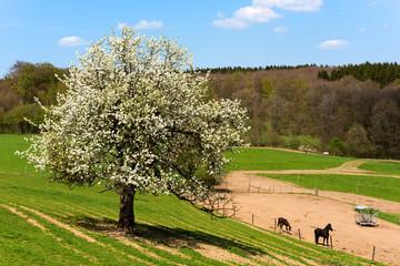 Landschaft, Frühling, Apfelblüte, Apfelbaum