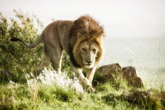 Löwe -  Löwen König auf der Jagd in der Savanne
