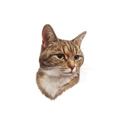 Cute striped cat isolated on white background. Realistic portrait of a pet. Drawing of cat with green eyes. Good for print pillow, T-shirt. Art background for pet shop. Hand painted illustration