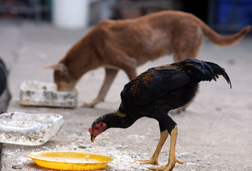A dog eats next to a chicken at a temple in Bangkok.