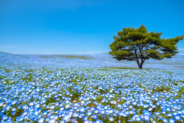 Mountain, Tree and Nemophila (baby blue eyes flowers) field, blue flower carpet, Japanese Natural Attraction. Hitachi Seaside Park, Ibaraki, Japan.
