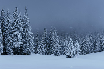 Majestic winter landscape, pine forest with trees covered with snow. A dramatic scene with low black clouds, a calm before the storm