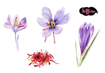 saffron crocus flower watercolor hand drawn illustration