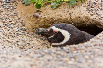 Humbold penguin profile