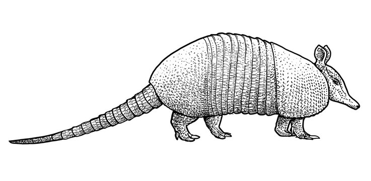 Armadillo illustration, drawing, engraving, ink, line art, vector