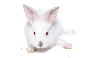 little white rabbit with red eyes, isolate