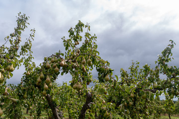 Abundant crop of ripe pears growing in a Worcestershire orchard, ready to pick.