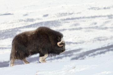 Musk Ox going up the mountain in winter