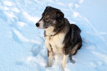 Big gray dog sitting on a white snow background