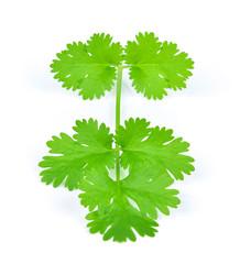 Coriander leaves on white background.