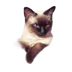 Siamese cat isolated on white backgrounf. Realistic drawing of a cute cat with blue eyes. Hand Painted Illustration of Pet. Design template. Good for print T-shirt, pillow. Animal Art collection: Cats