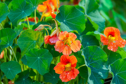 Nasturtium flowers with green colorful leaves.