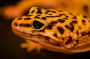 Close-up of the face of a leopard gecko eublephar pet with a soft blurred background