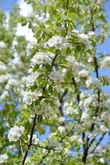 Branches with flowers of pear ordinary (Pyrus communis L.) against the background of the sky