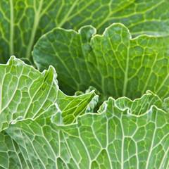 Wirsingkohl  Savoy cabbage