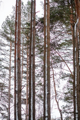 snow covered trees, forest in winter