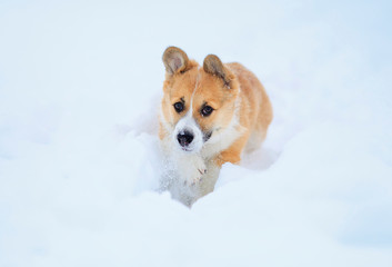 beautiful little funny red puppy corgi runs in deep white snowdrifts in the winter in the village throwing up its legs