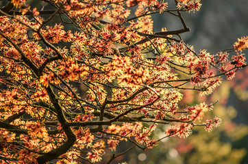 Several braches of a witch hazel with red flowers with a yellow witch hazel blurred in the background, on a sunny day in winter