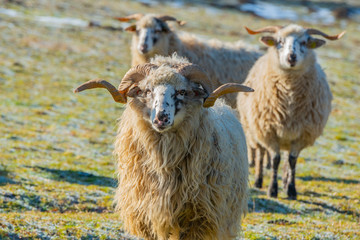 a sheep herd with ram (breed - valaska) close up in winter