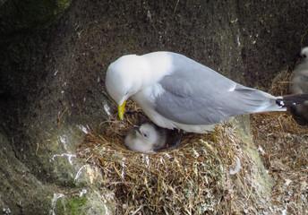 Black-legged kittiwake gull taking care of chick, nest at the cliff coast of Reykjanes Peninsula, Iceland